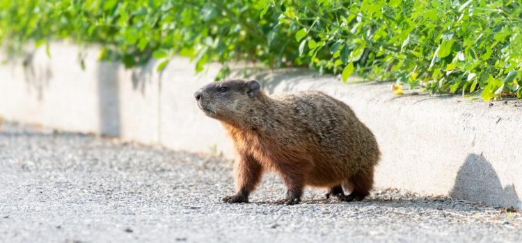 Groundhogs or Woodchucks