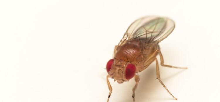 Fruit Flies – Canton Termite & Pest Control