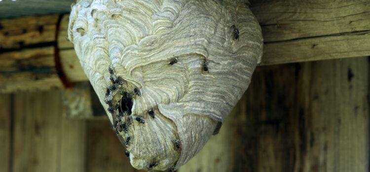 Bald-Faced Hornets