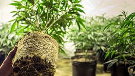 Image of a marijuana plant