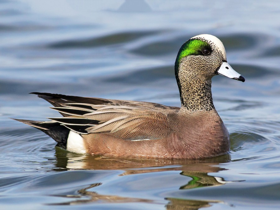 American Wigeon at BCHP