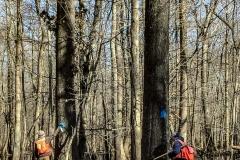 2019-Red-Oak-Harvest-trees-3