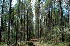 Maury Co. Pine Thinning