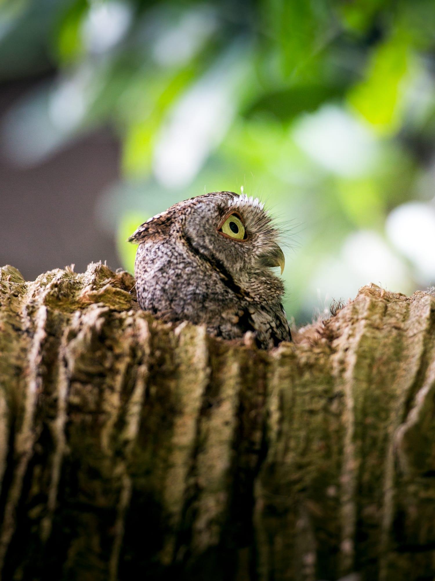 Eastern Screech Owl_sized-1