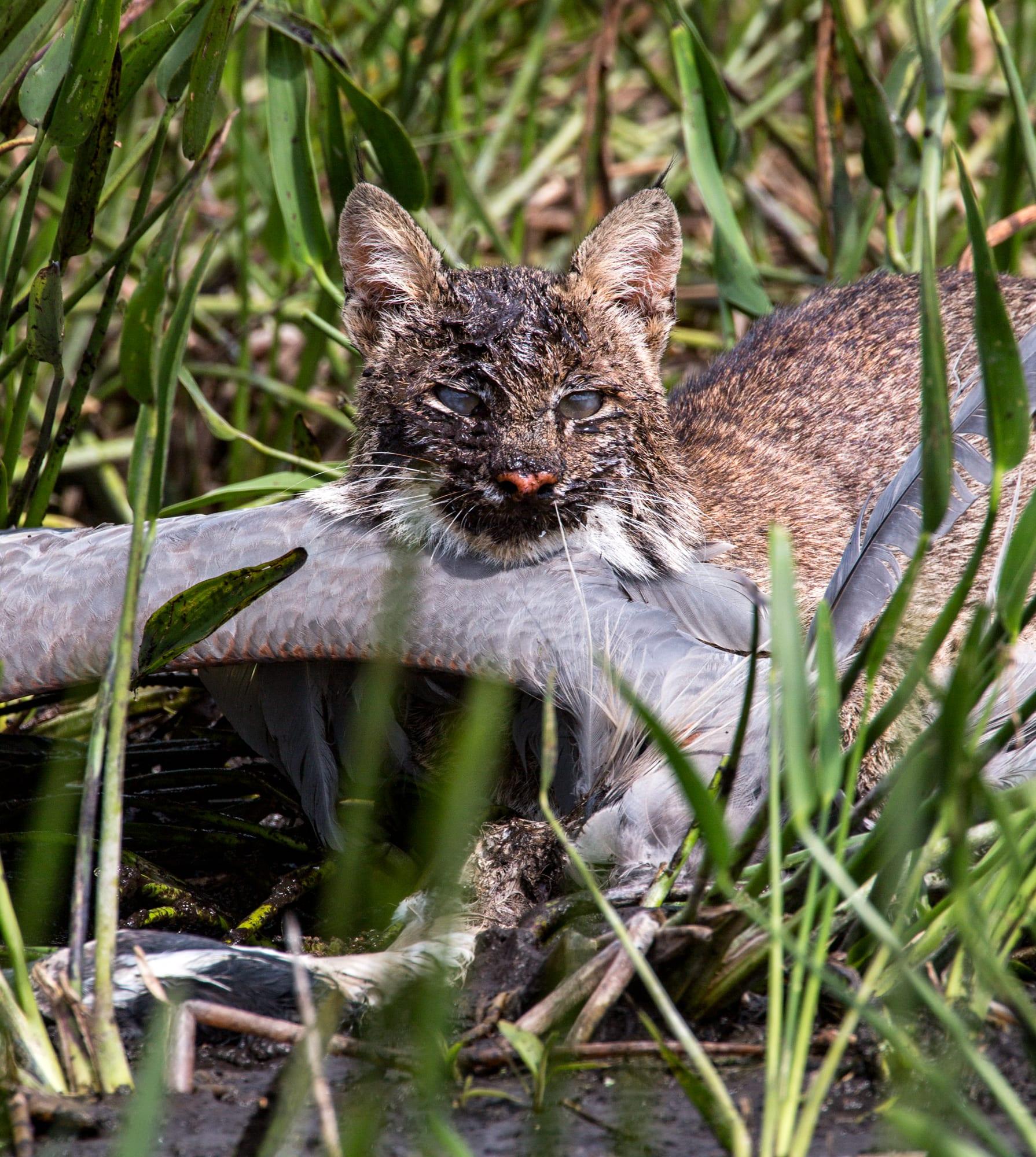 bobcat-2