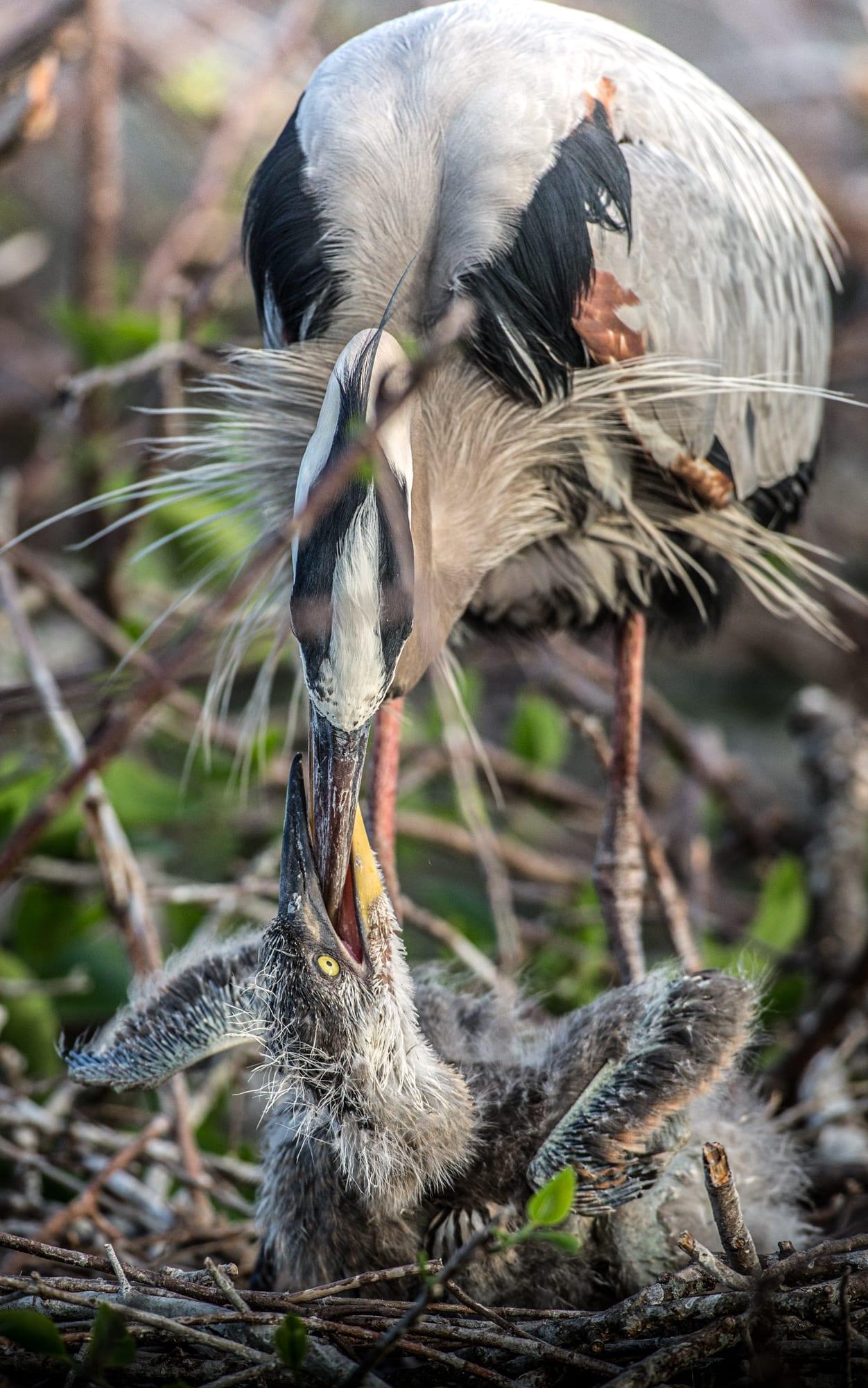 heron_egrets_sized-3