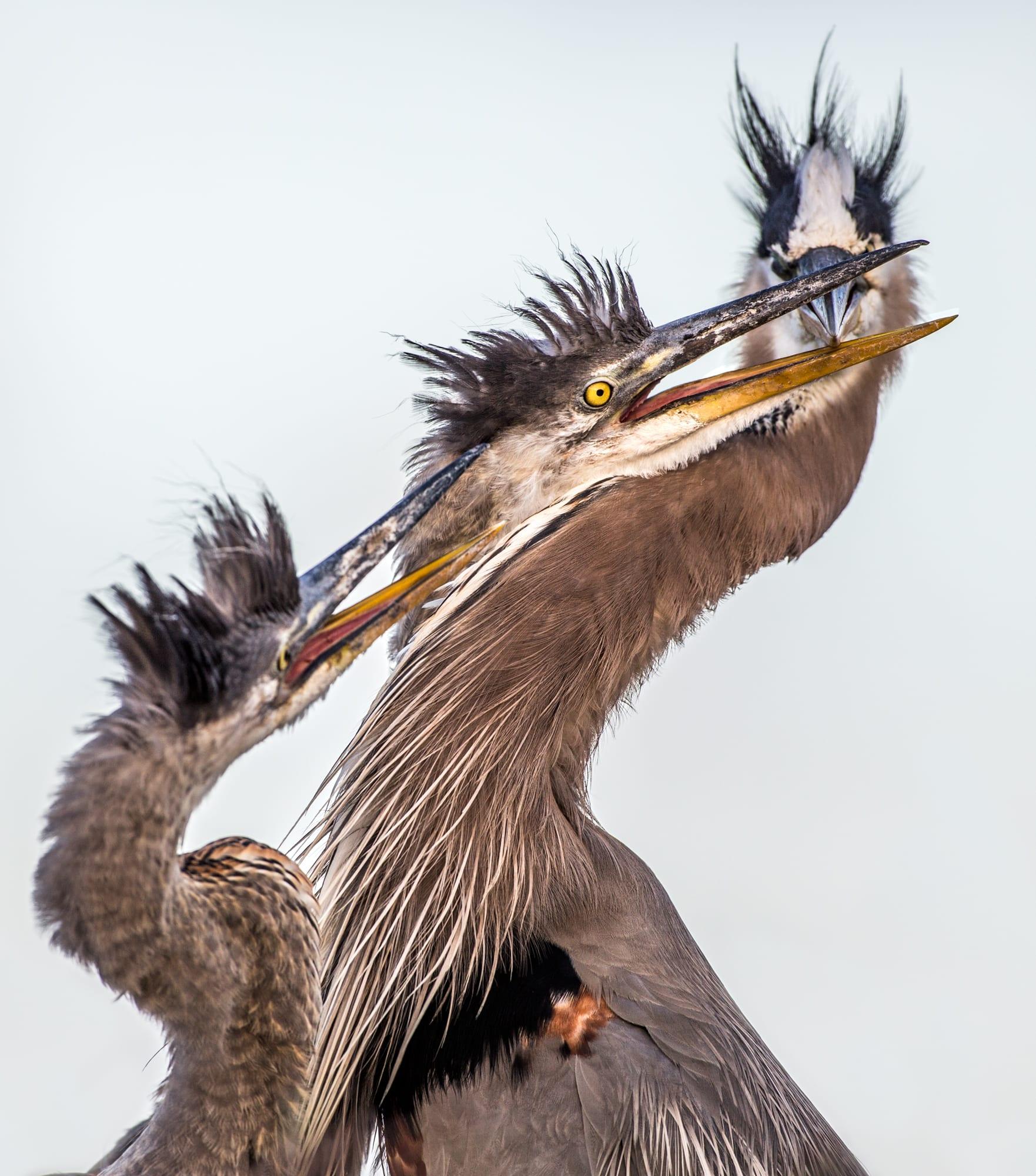 heron_egrets_sized-4