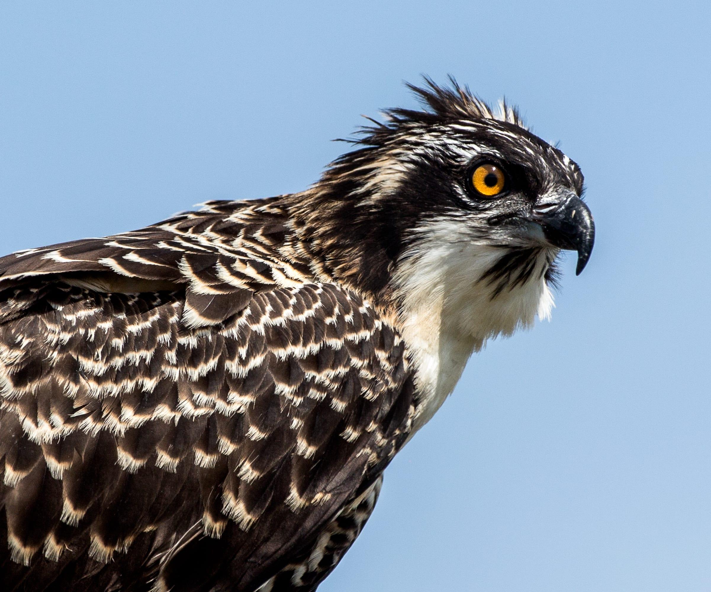 osprey-2