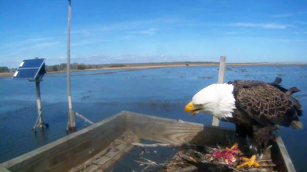 Solar Powered Eagle-Cams - John Bunker Sands Wetlands Center, Texas