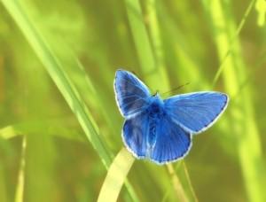 common-blue-1352586_640