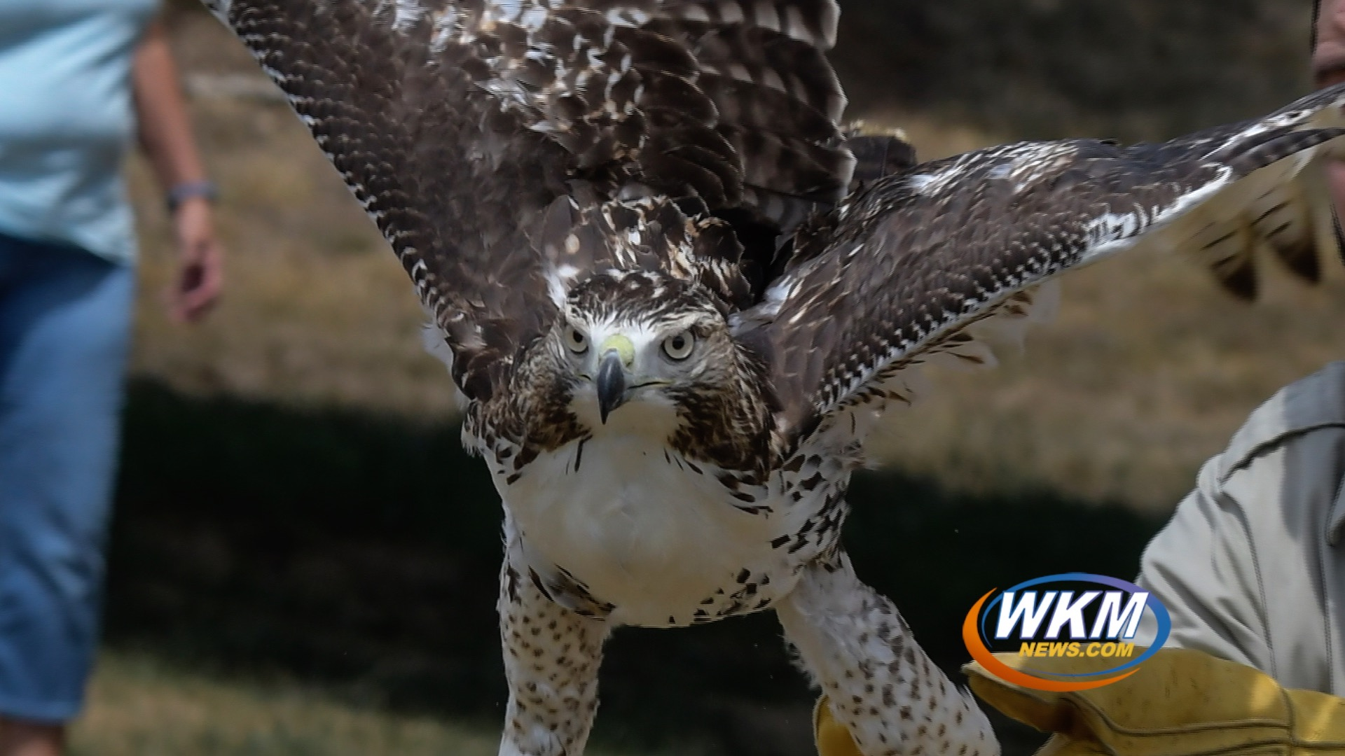 Rehabilitated Red-Tailed Hawk Released to its Home in Clifty