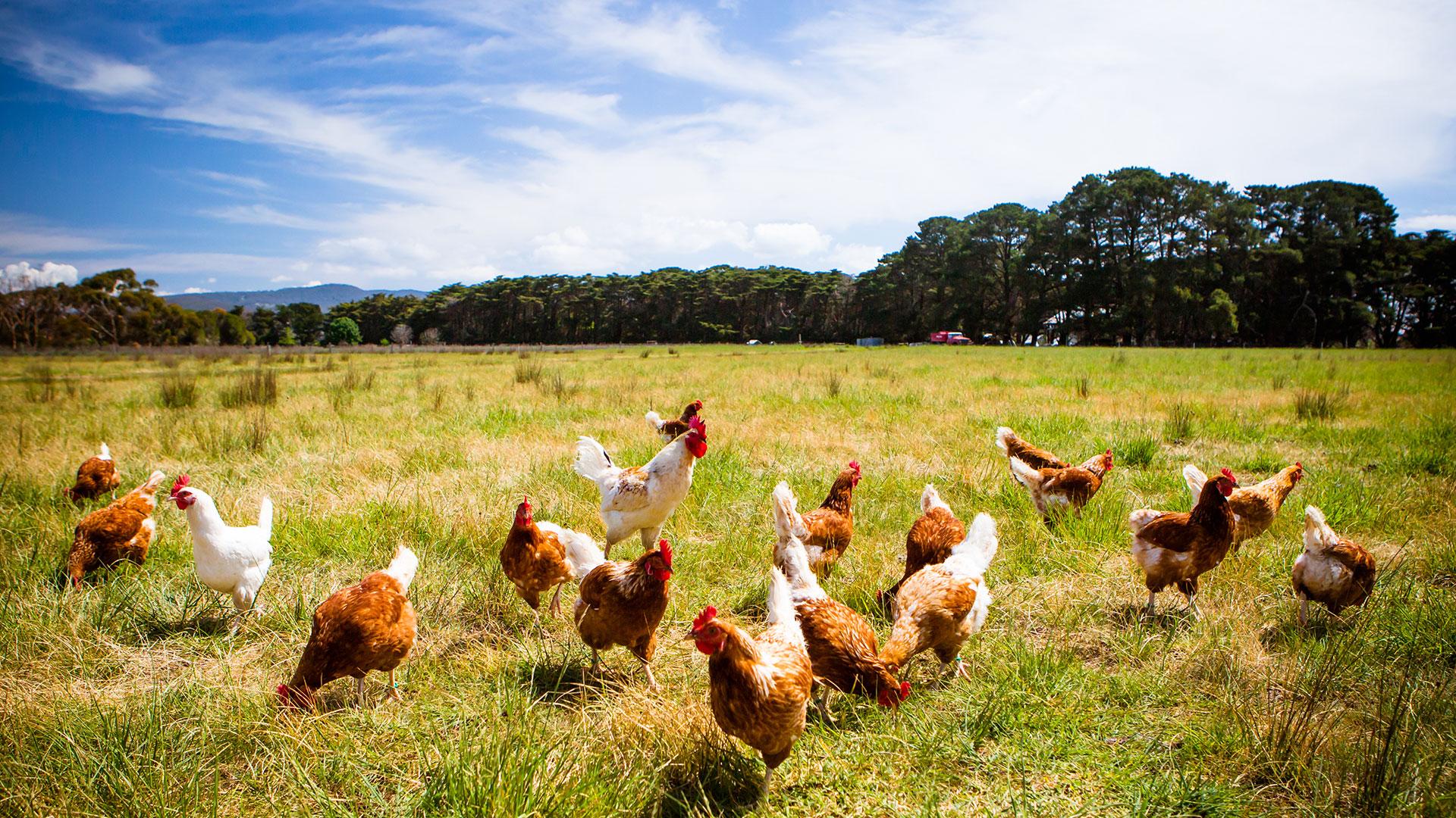 Backyard Chickens with Joseph Heckman, PhD