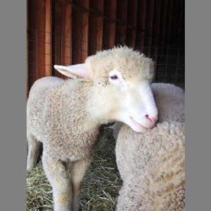 Sheep in the Garden State