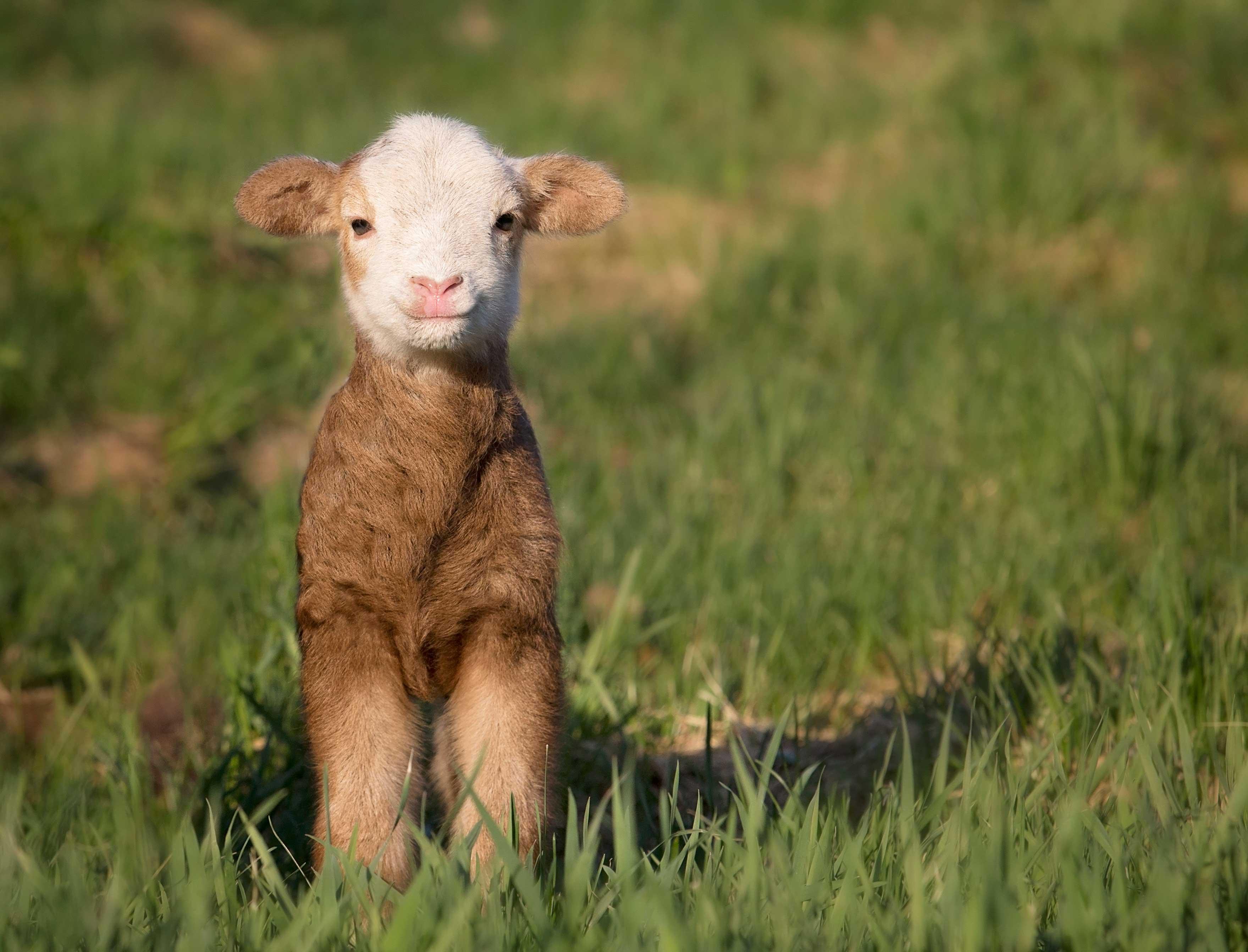Managing Intestinal Parasites in Sheep