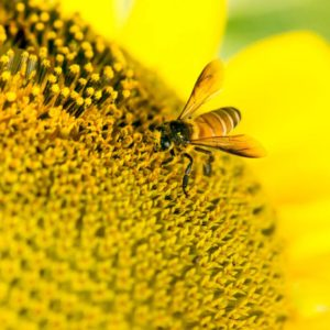 Bees attracted to toxic pesticides