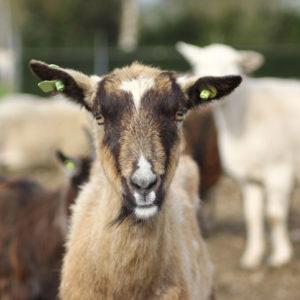 Meat Goat Husbandry Workshop at Sweet Sourland Farm