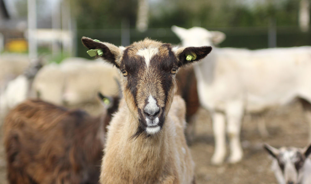 Meat Goats at Sweet Sourland Farm