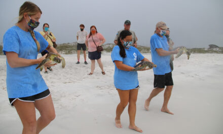 Gulfarium C.A.R.E. Center Successfully Released Four Rehabilitated Sea Turtles