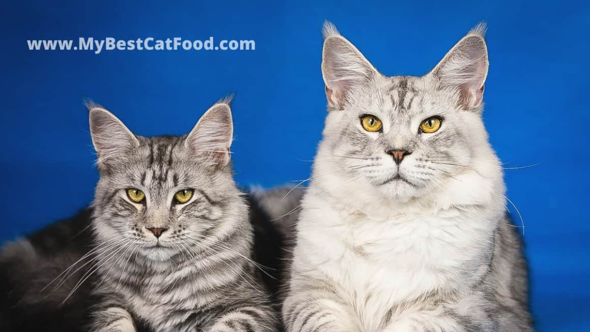 Best Cat Food For Maine Coon | 5 Best Cat Food for Maine