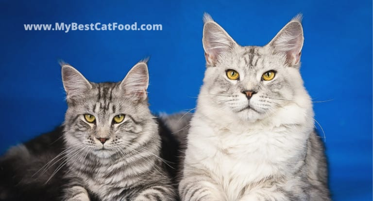Best Cat Food For Maine Coon   5 Best Cat Food for Maine