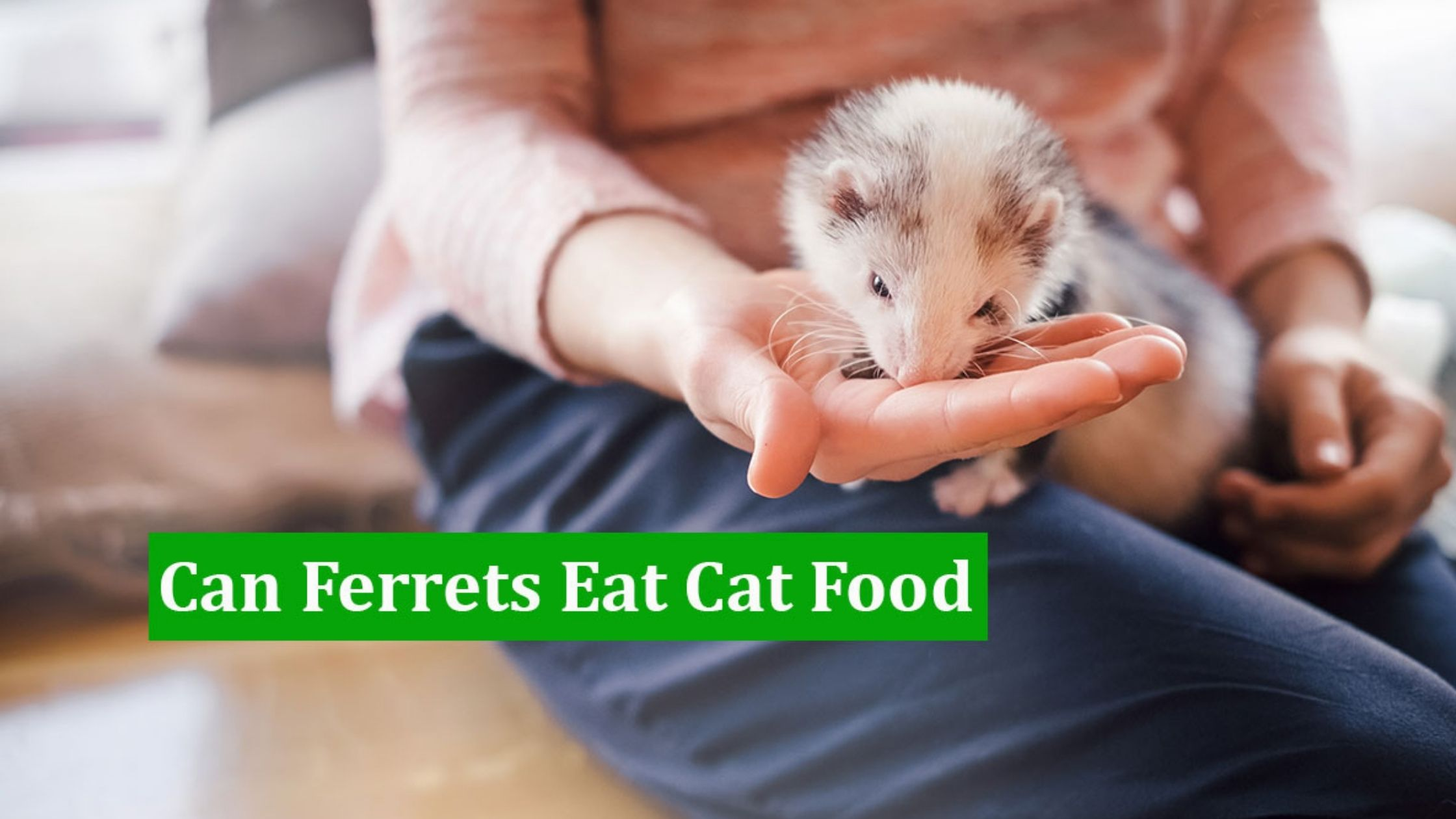 The Best Cat Food For Ferrets | What Do Ferrets Eat? | Feeding Guide
