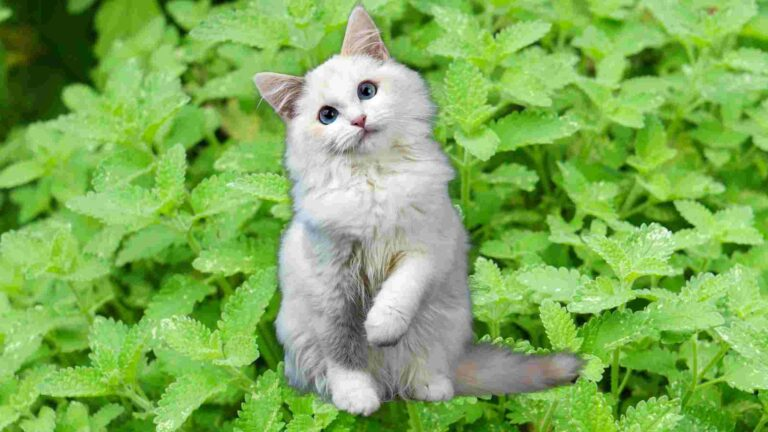 Can cats eat Peppermint