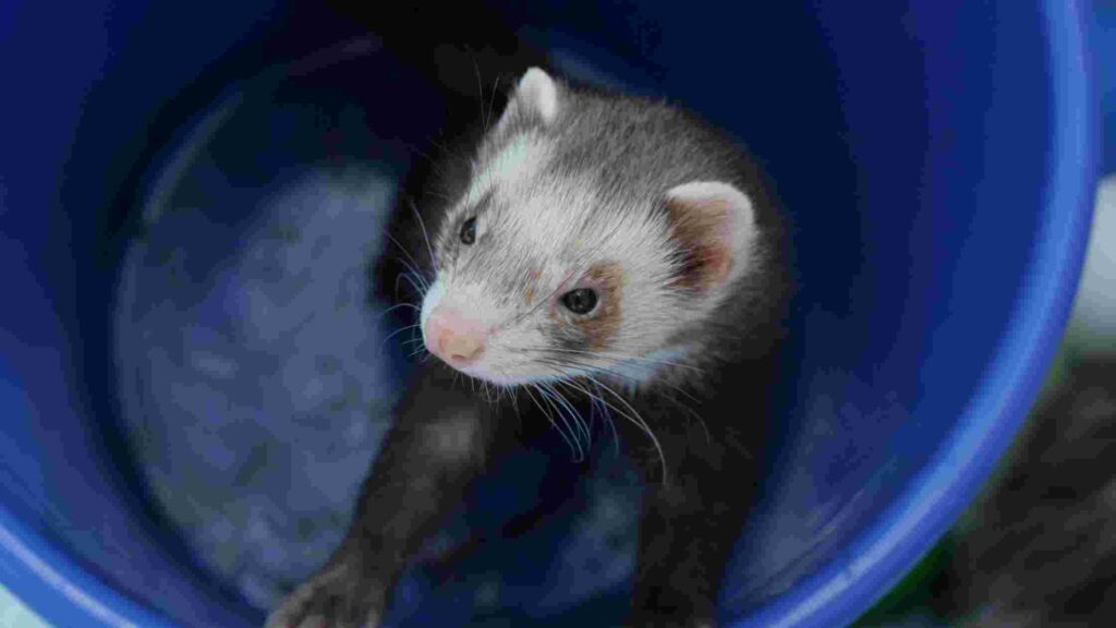 What Can Ferrets Eat
