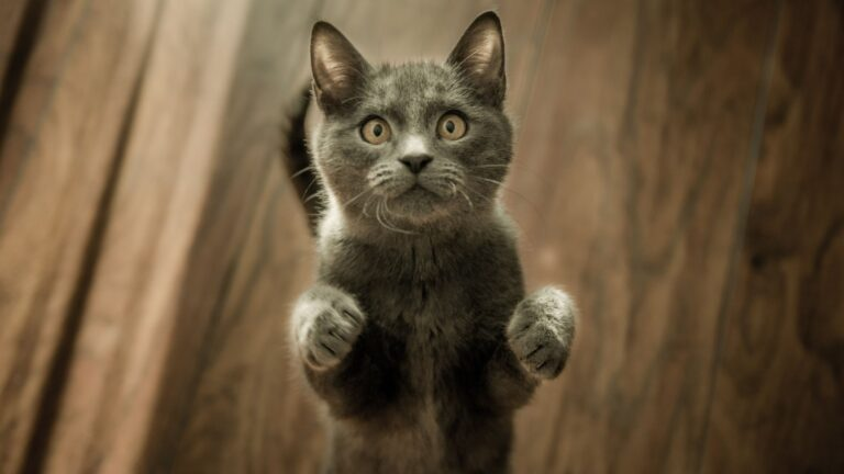 What is Chicken Meal in Cat Food