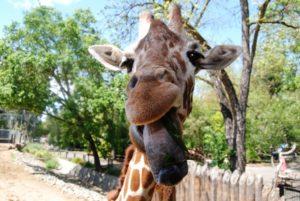 SacZoo Wine & Brew - giraffe
