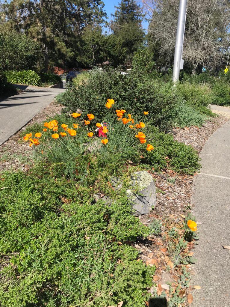 Coyote Brush, Coffeeberry and Poppies of course!