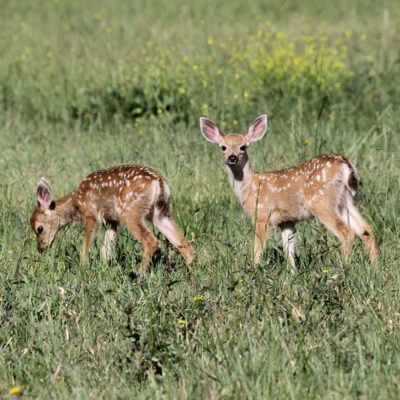 Baby Deer at Flag Is Up Farms - photo by June Tabor Memories