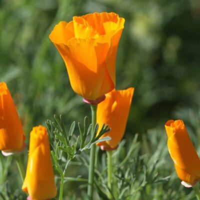 California poppies at Flag Is Up Farms - photo credit June Tabor Memories