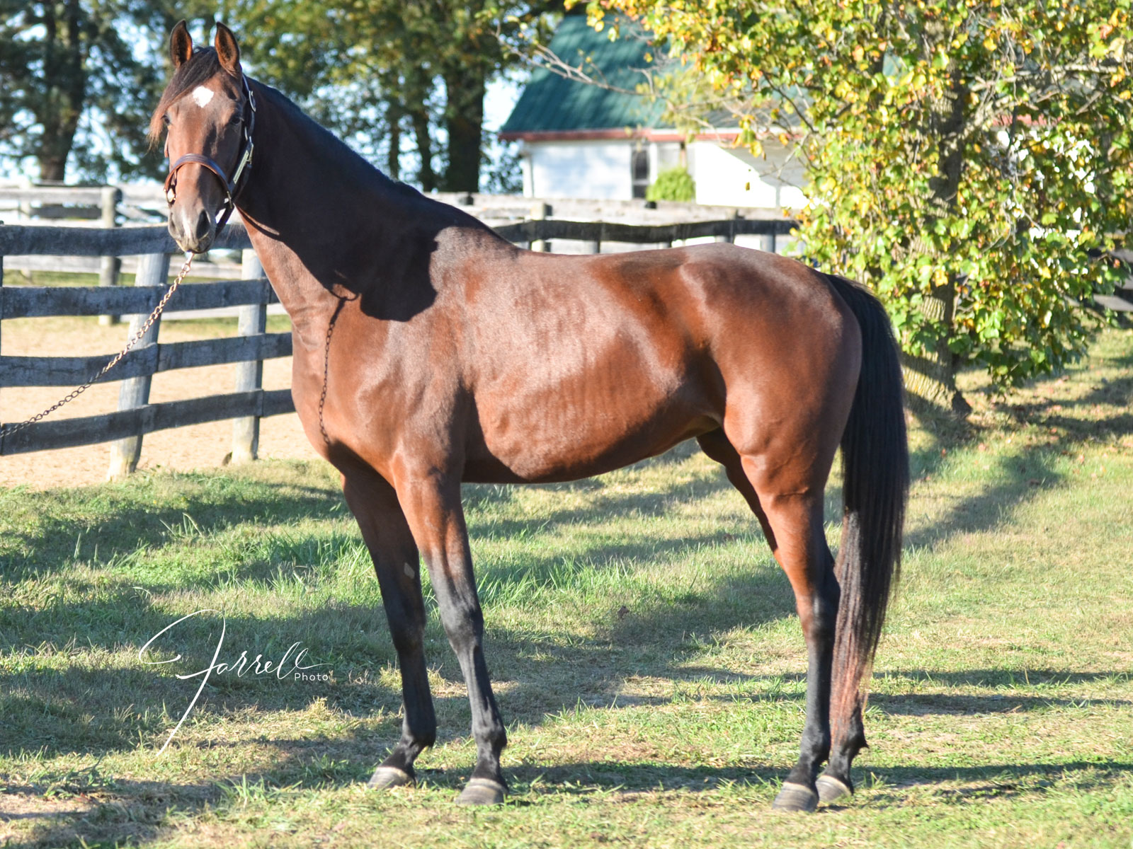 Apple - American Saddlebred available for adoption