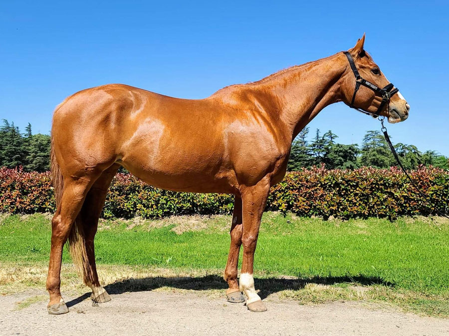 Girly - #ottb thoroughbred mare available for adoption