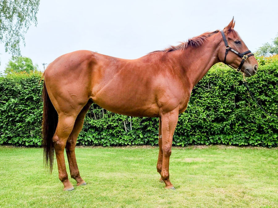 Gleefully - #ottb thoroughbred mare available for adoption