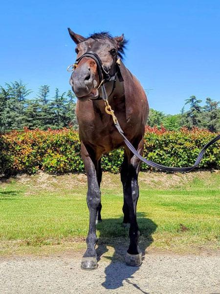 Napoleon - #ottb thoroughbred gelding available for adoption