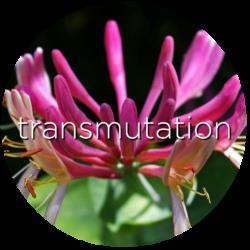 honeysuckle transmutation flower essence