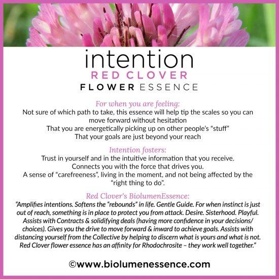 Intention Red Clover Flower Essence