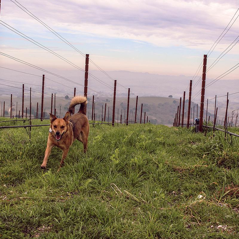 Dog in Caelesta Vineyard