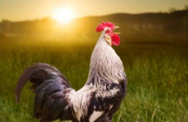 Leghorn chicken crowing at sunrise