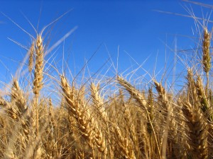 All About Wheat Flour