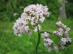 Valerian - 20 Stress Relieving Herbs and Teas from Simple Life Mom