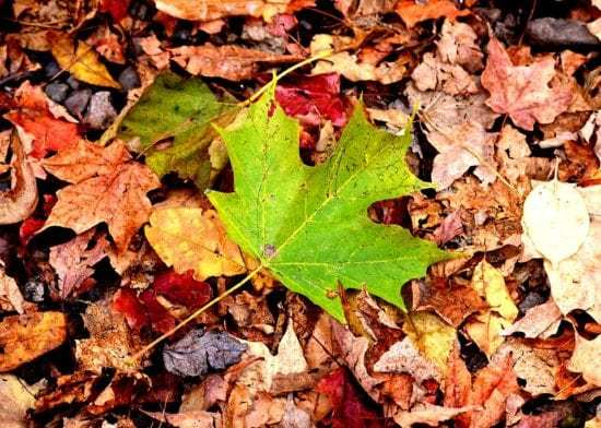 Homestead Blog Hop Feature - fall-leaves-to-use-for-green-mulch