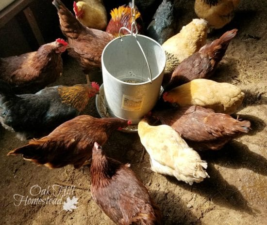 Homestead Blog Hop Feature - Winter Chicken Keeping