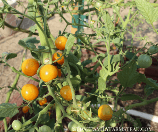 Homestead Blog Hop Feature - Pruning-Tomato-Plants
