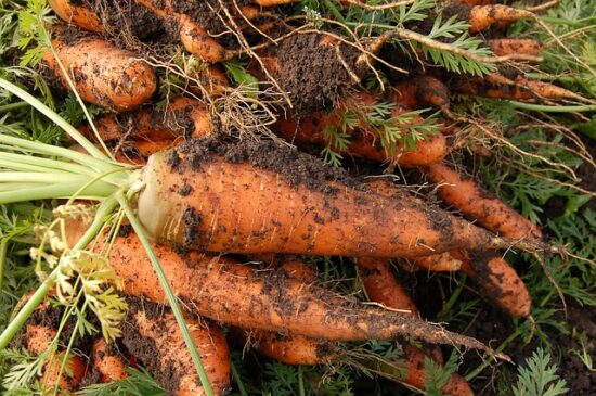 Homestead Blog Hop Feature - How to Store Carrots for Winter