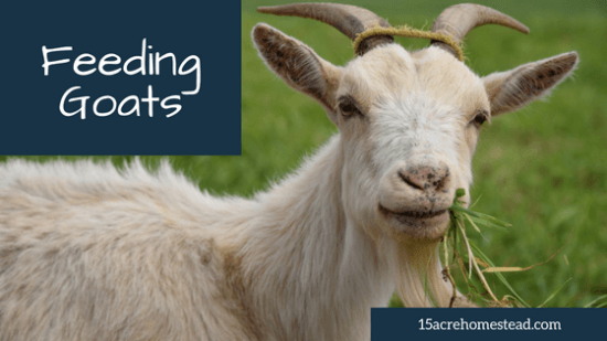 Homestead Blog Hop Feature - Feeding Goats on Your Homestead