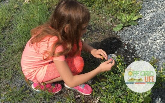 Homestead Blog Hop Feature - Foraging-With-Kids Five Easy to Find Edibles