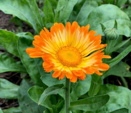 Homestead Blog Hop Feature - How to Make and Use Calendula Oil