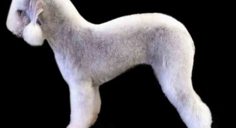 Styling the Bedlington Terrier